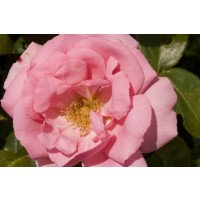 Bantry Bay Climbing Rose