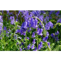 English Bluebell Bulbs