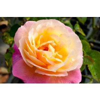 Chicago Peace - Hybrid Tea Rose