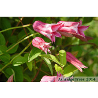 Clematis - Duchess of Albany