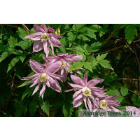 Markhams Pink Clematis Flowers