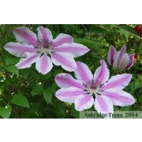 Clematis Nelly Moser Flowers