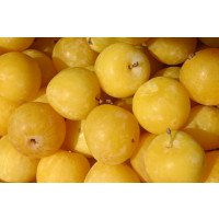 Coes Golden Drop Plums