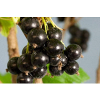 'Ben Connan' Blackcurrant Plants