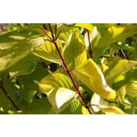Cornus alba leaves