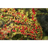 Cotoneaster horizontalis in September