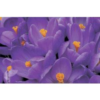Crocus vernus 'Remembrance' flowers