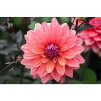 American Dawn Dahlias