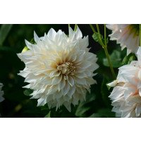 Cafe au Lait Dahlia flower