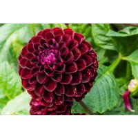 Dark Spirit Dahlia Flower
