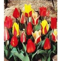 Tulip - Mixed Dwarf Collection