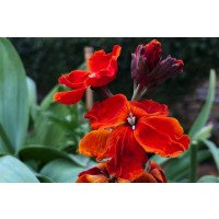 Fire King Wallflowers