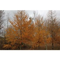 European Larch trees in Autumn