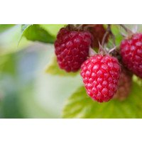 Glen Lyon Raspberries