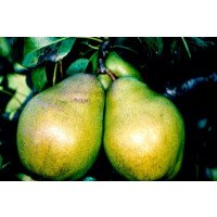 Glou Morceau Pears on the tree
