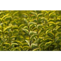 Golden Privet Hedging
