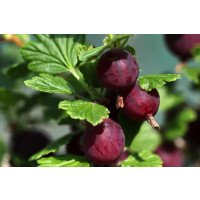 Hinnonmaki Red gooseberries