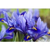 Iris reticulata Carolina Flowers