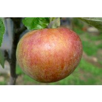 Irish Peach Apple
