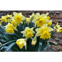 Daffodil - Irish Luck