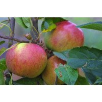 Laxton Superb Apples