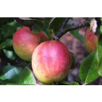 Cox's Orange Pippin Apples