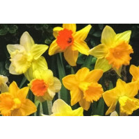 Naturalising Daffodil & Narcissus Mix