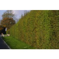 Hawthorn Hedging (Packs of 50)
