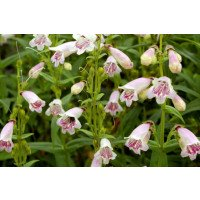 Mother of Pearl Penstemons