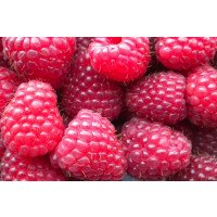 Polka Raspberries for Sale