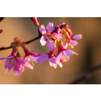 Prunus Okame Flowering Cherry