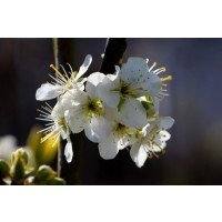Wild plum in flower