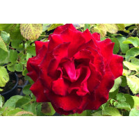Hybrid Tea Rose - My Valentine