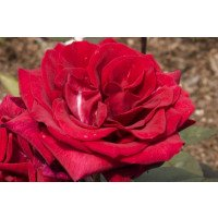 Deep Secret - Hybrid Tea Rose