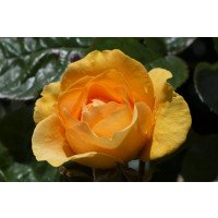Absolutely Fabulous Floribunda