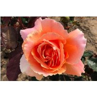 Just Joey Hybrid Tea
