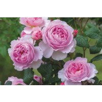 The Ancient Mariner® Rose (Ausoutcry)