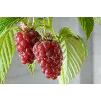 Tulameen Raspberries on the cane
