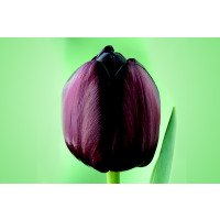 Tulipa 'Queen of Night' tulip flower