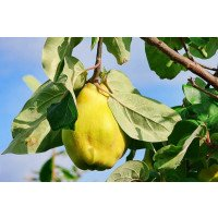 Vranja Quince on the tree