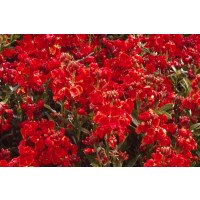Scarlet Bedder Wallflower