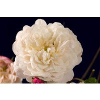 Little White Pet - patio climbing rose