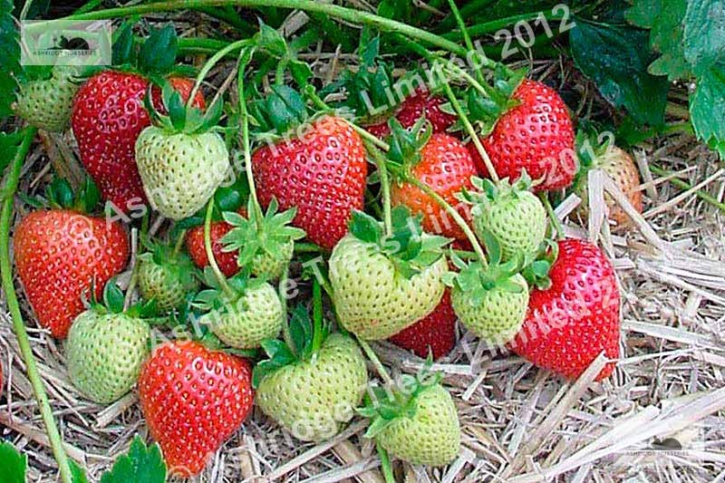 Buying Strawberry Plants
