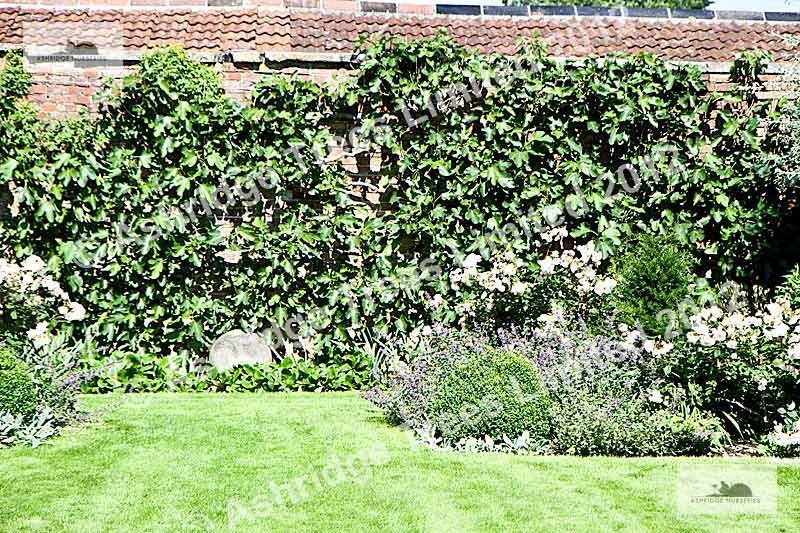 How To Plant Fig Trees Beside A Wall