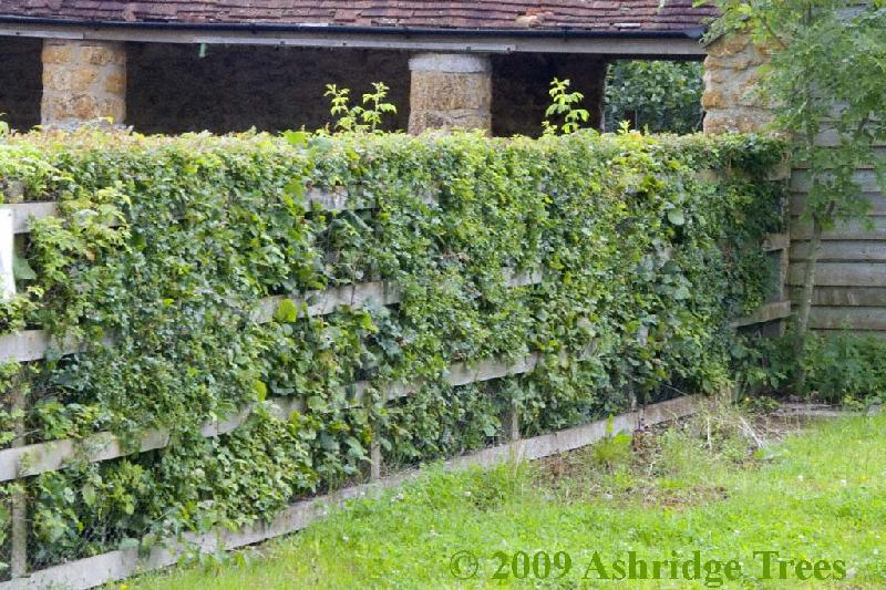 choosing hedge plants advice from ashridge trees. Black Bedroom Furniture Sets. Home Design Ideas