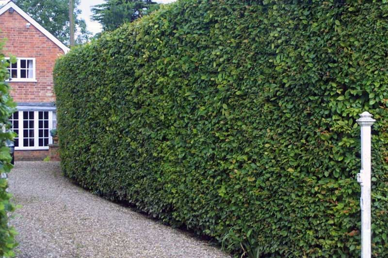 Buying Hornbeam Hedging Amp Trees Advice From Ashridge Trees