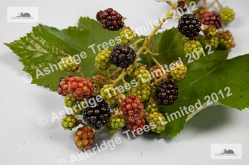 Pruning a Blackberry Plant