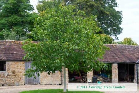 standard tree
