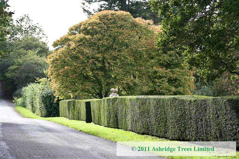 Pruning Yew Hedges