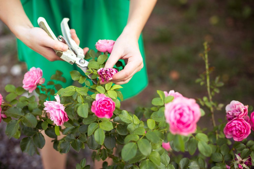 Rose Plant Care Guide 2017 Ashridge Nurseries